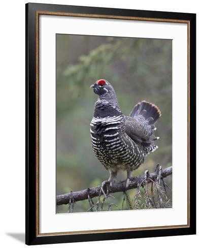 Spruce Grouse, Arctic National Wildlife Refuge, Alaska, USA-Hugh Rose-Framed Art Print