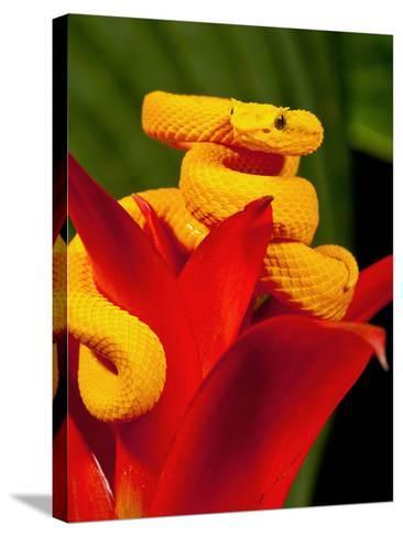 Eyelash Viper, Bothriechis Schlegeli, Native to Southern Mexico into Central America-David Northcott-Stretched Canvas Print