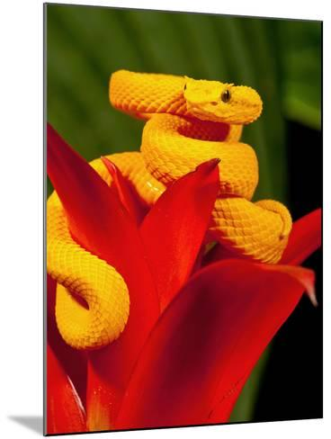 Eyelash Viper, Bothriechis Schlegeli, Native to Southern Mexico into Central America-David Northcott-Mounted Photographic Print