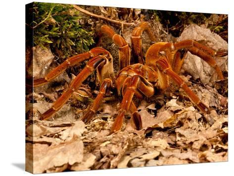 Goliath Bird-Eater Spider, Theraphosa Blondi, Native to the Rain Forest Regions of South America-David Northcott-Stretched Canvas Print