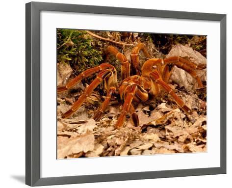 Goliath Bird-Eater Spider, Theraphosa Blondi, Native to the Rain Forest Regions of South America-David Northcott-Framed Art Print