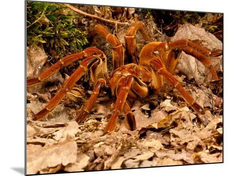 Goliath Bird-Eater Spider, Theraphosa Blondi, Native to the Rain Forest Regions of South America-David Northcott-Mounted Photographic Print
