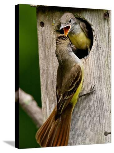 Great Crested Flycatcher Myiarchus Crinitus Central Pennsylvania-David Northcott-Stretched Canvas Print