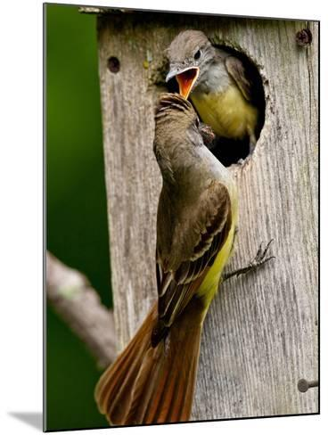 Great Crested Flycatcher Myiarchus Crinitus Central Pennsylvania-David Northcott-Mounted Photographic Print