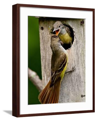 Great Crested Flycatcher Myiarchus Crinitus Central Pennsylvania-David Northcott-Framed Art Print