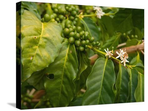 Greenwell Kona Coffee Farm, Big Island, Hawaii, USA-Inger Hogstrom-Stretched Canvas Print