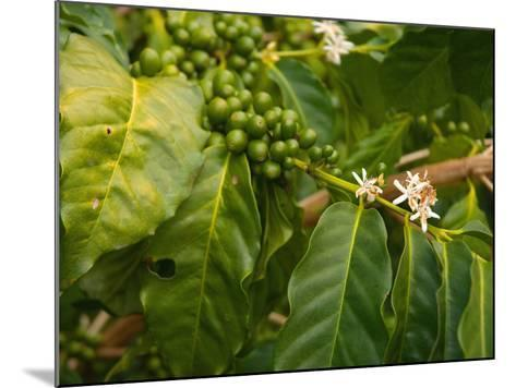 Greenwell Kona Coffee Farm, Big Island, Hawaii, USA-Inger Hogstrom-Mounted Photographic Print