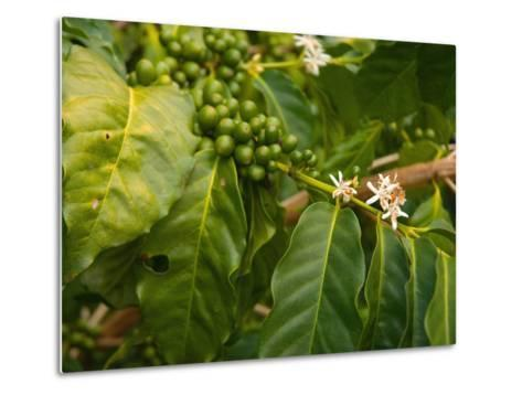 Greenwell Kona Coffee Farm, Big Island, Hawaii, USA-Inger Hogstrom-Metal Print