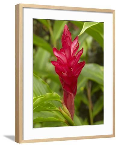 Red Ginger Flower (Alpinia Purpurata), Coral Coast, Viti Levu, Fiji, South Pacific-David Wall-Framed Art Print