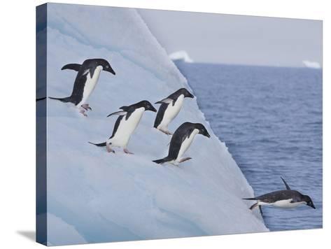 Adelie Penguins, Paulet Island, Antartica, Antarctic-Hugh Rose-Stretched Canvas Print