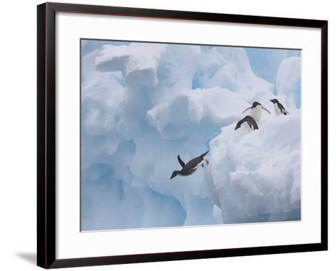 Adelie Penguins, Paulet Island, Antartica, Antarctic-Hugh Rose-Framed Art Print