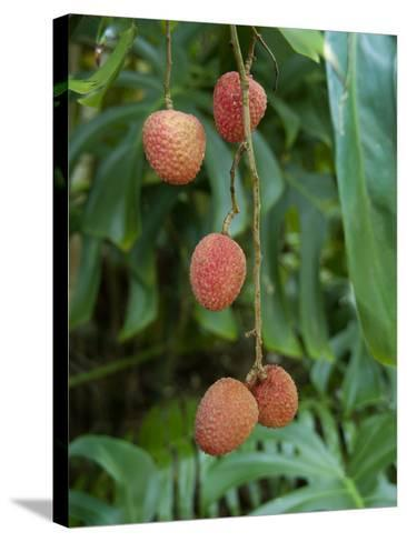 Tropical Litchi Fruit on Tree, Reunion Island, French Overseas Territory-Cindy Miller Hopkins-Stretched Canvas Print