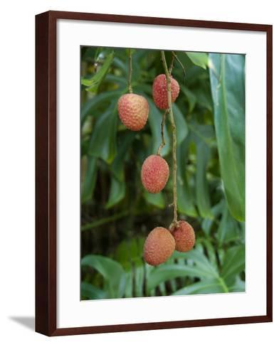 Tropical Litchi Fruit on Tree, Reunion Island, French Overseas Territory-Cindy Miller Hopkins-Framed Art Print