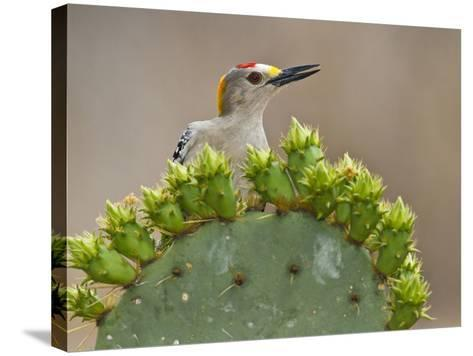 Golden-Fronted Woodpecker, Texas, USA-Larry Ditto-Stretched Canvas Print