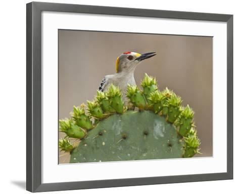 Golden-Fronted Woodpecker, Texas, USA-Larry Ditto-Framed Art Print