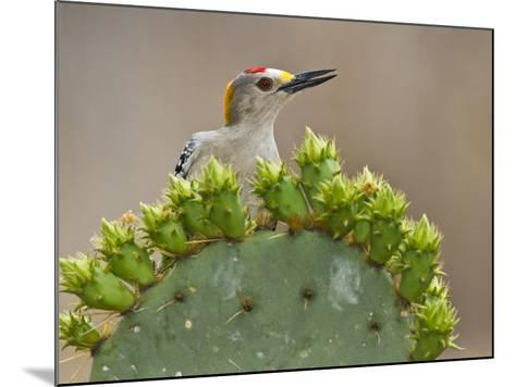 Golden-Fronted Woodpecker, Texas, USA-Larry Ditto-Mounted Photographic Print