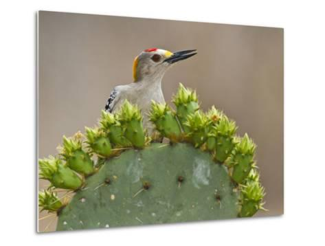 Golden-Fronted Woodpecker, Texas, USA-Larry Ditto-Metal Print