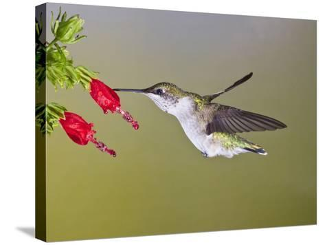 Ruby-Throated Hummingbird, Texas, USA-Larry Ditto-Stretched Canvas Print