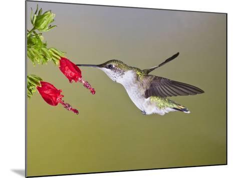 Ruby-Throated Hummingbird, Texas, USA-Larry Ditto-Mounted Photographic Print