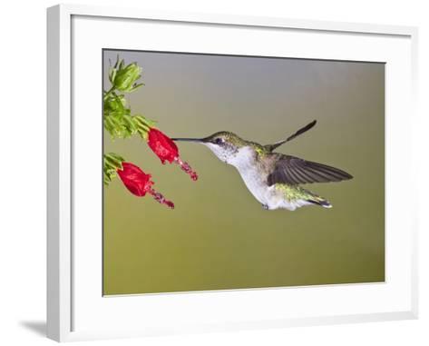 Ruby-Throated Hummingbird, Texas, USA-Larry Ditto-Framed Art Print