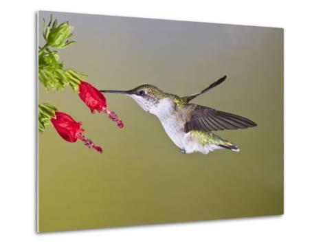 Ruby-Throated Hummingbird, Texas, USA-Larry Ditto-Metal Print