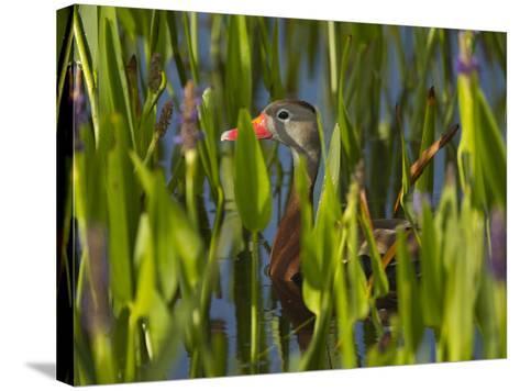 Black-Bellied Whistling Duck in Pickerel Weed, Dendrocygna Autumnalis, Viera Wetlands, Florida, USA-Maresa Pryor-Stretched Canvas Print