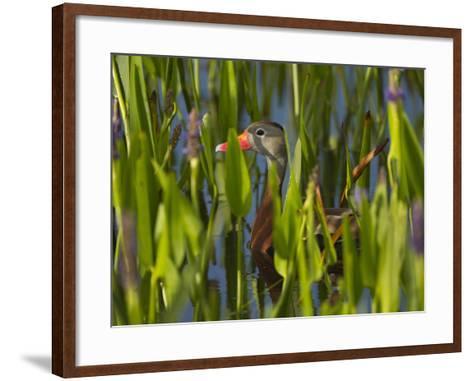 Black-Bellied Whistling Duck in Pickerel Weed, Dendrocygna Autumnalis, Viera Wetlands, Florida, USA-Maresa Pryor-Framed Art Print
