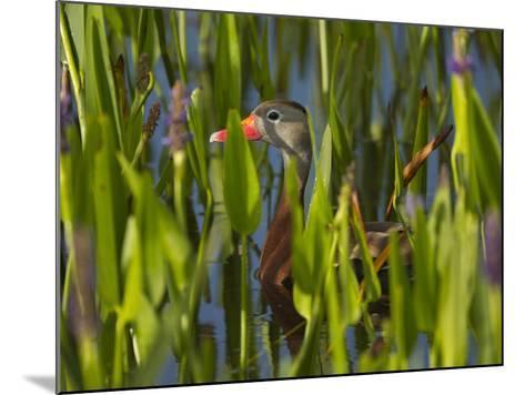 Black-Bellied Whistling Duck in Pickerel Weed, Dendrocygna Autumnalis, Viera Wetlands, Florida, USA-Maresa Pryor-Mounted Photographic Print