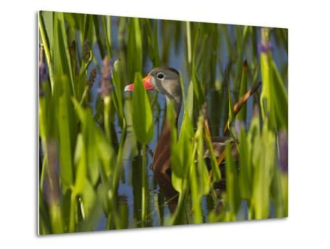 Black-Bellied Whistling Duck in Pickerel Weed, Dendrocygna Autumnalis, Viera Wetlands, Florida, USA-Maresa Pryor-Metal Print