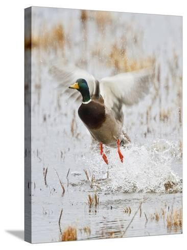 Mallard Flying, New Mexico, USA-Larry Ditto-Stretched Canvas Print