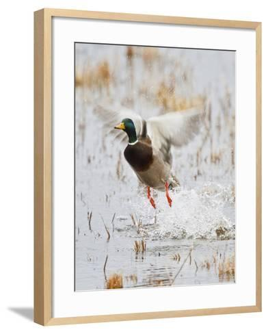 Mallard Flying, New Mexico, USA-Larry Ditto-Framed Art Print