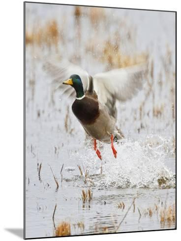 Mallard Flying, New Mexico, USA-Larry Ditto-Mounted Photographic Print