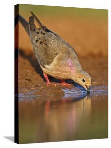 Mourning Dove, Texas, USA-Larry Ditto-Stretched Canvas Print
