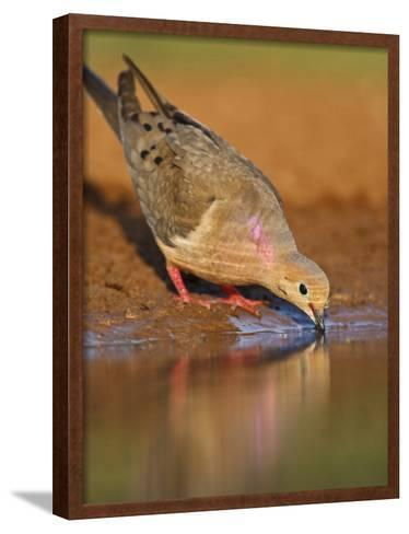 Mourning Dove, Texas, USA-Larry Ditto-Framed Art Print