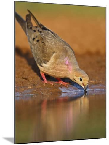Mourning Dove, Texas, USA-Larry Ditto-Mounted Photographic Print