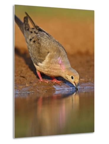 Mourning Dove, Texas, USA-Larry Ditto-Metal Print