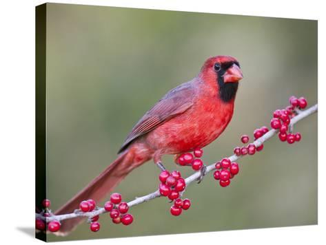 Northen Cardinal Perched on Branch, Texas, USA-Larry Ditto-Stretched Canvas Print