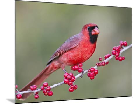 Northen Cardinal Perched on Branch, Texas, USA-Larry Ditto-Mounted Photographic Print
