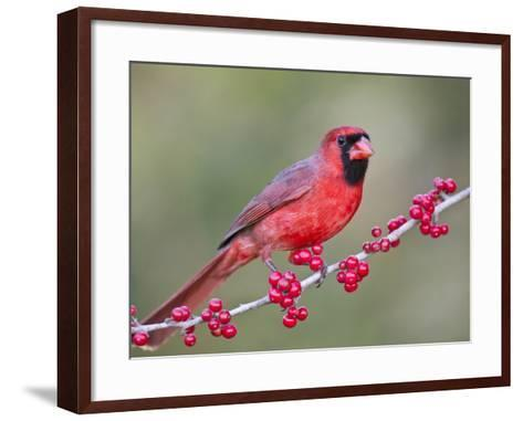 Northen Cardinal Perched on Branch, Texas, USA-Larry Ditto-Framed Art Print