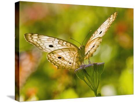 White Peacock Butterfly, Texas, USA-Larry Ditto-Stretched Canvas Print