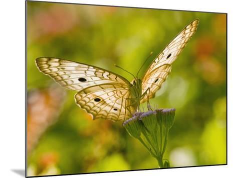 White Peacock Butterfly, Texas, USA-Larry Ditto-Mounted Photographic Print