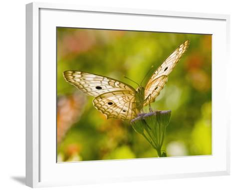 White Peacock Butterfly, Texas, USA-Larry Ditto-Framed Art Print