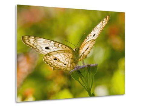 White Peacock Butterfly, Texas, USA-Larry Ditto-Metal Print