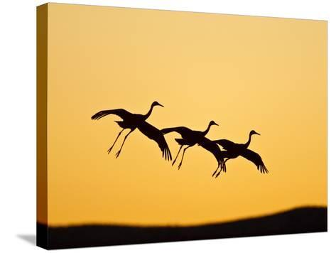 Sandhill Crane in Flight , New Mexico, USA-Larry Ditto-Stretched Canvas Print