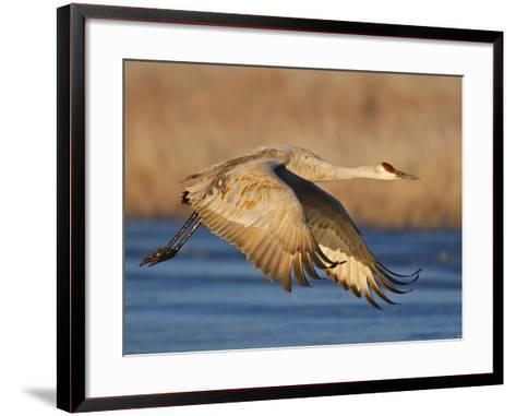 Sandhill Crane in Flight , New Mexico, USA-Larry Ditto-Framed Art Print