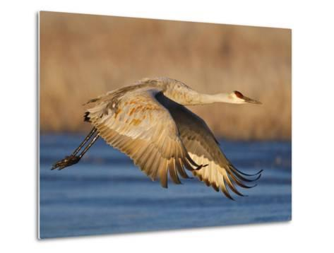 Sandhill Crane in Flight , New Mexico, USA-Larry Ditto-Metal Print