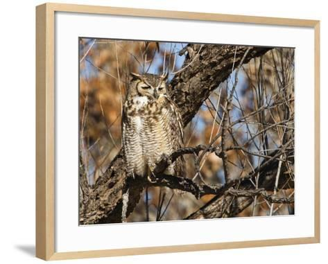 Great Horned Owl (Bubo Virginianus) Sleeping on Perch in Willow Tree, New Mexico, USA-Larry Ditto-Framed Art Print