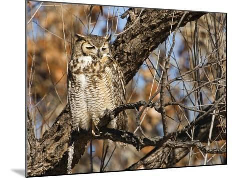 Great Horned Owl (Bubo Virginianus) Sleeping on Perch in Willow Tree, New Mexico, USA-Larry Ditto-Mounted Photographic Print