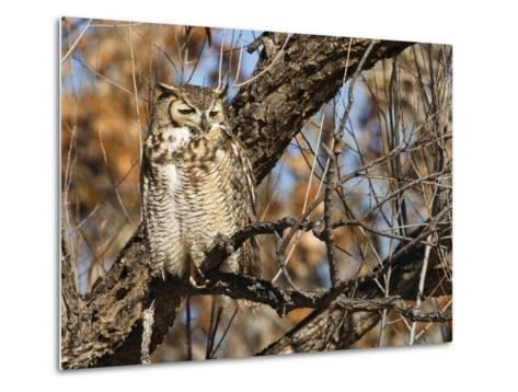 Great Horned Owl (Bubo Virginianus) Sleeping on Perch in Willow Tree, New Mexico, USA-Larry Ditto-Metal Print