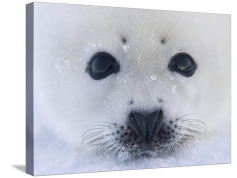 Harp Seal Pup on Ice, Iles De La Madeleine, Quebec, Canada-Keren Su-Stretched Canvas Print